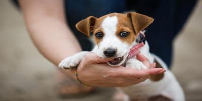 Rehabilitación en perros: cuidados caseros