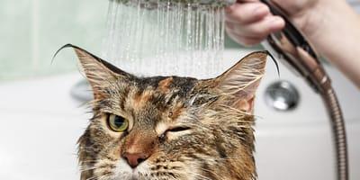bañar fácilmente a un gato