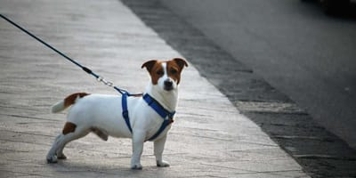 El arnés para perros: ¿cómo ponerlo?