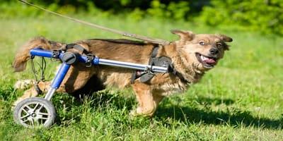 Sillas de ruedas para perros: todo lo que necesitas saber