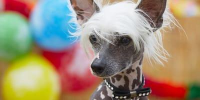 cuales son los perros sin pelo
