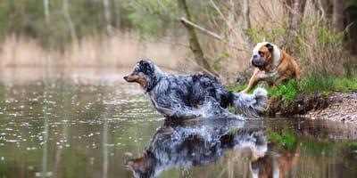 Welche Hunde gerne schwimmen - und welche nicht!