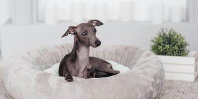 Perros mini toy: qué son, ventajas, inconvenientes y problemas de salud