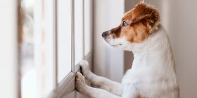 perro observando a su dueño a lo lejos