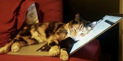 Cat sleeps on laptop keyboard