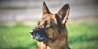 Diler na tropie narkotyków, czyli psy w Straży Granicznej