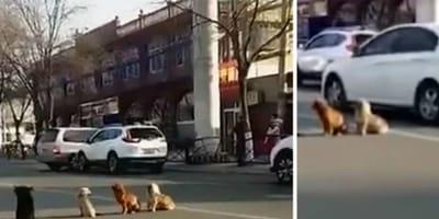 perros bloquean carretera