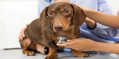 Tratamiento cistitis en perros