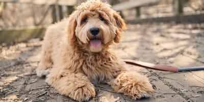 Labradoodle: Der Familienhund im Teddy-Look