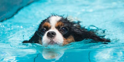 natacion en perro piscina