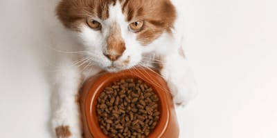 white and brown cat with food
