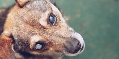 Blinder Hund mit Linsentrübung