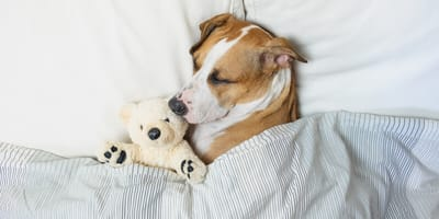 White and brown dog sleeping having a dream