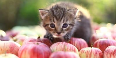 Kätzchen und viele Äpfel