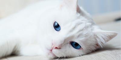 Czy białe koty są głuche? Nie zawsze