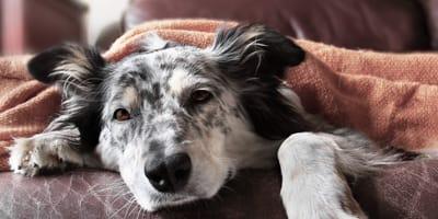 Miasis en perros: cómo combatirla para tener un perro sano