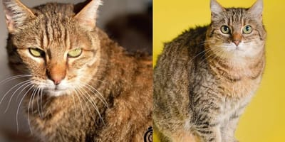 Urgent appeal to find a new home for two Cornish cats