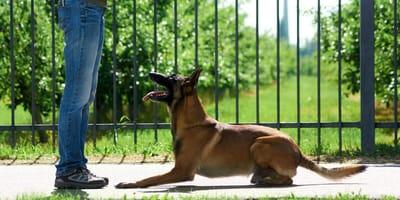 Jak nauczyć psa komendy leżeć?