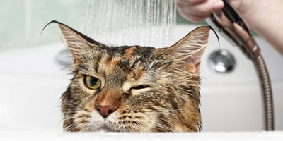 Jak wykąpać kota? Kąpiel kota krok po kroku