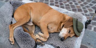 Hund mit Alpenmütze