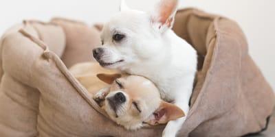 Quanto vive un Chihuahua, il cane più piccolo di tutti?