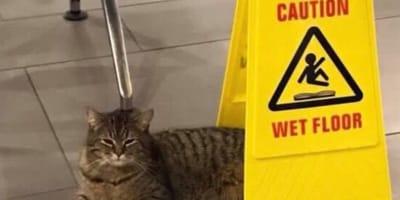 Cat lies beneath wet floor sign