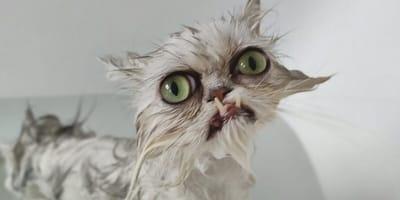 gatto bianco con i denti da fuori