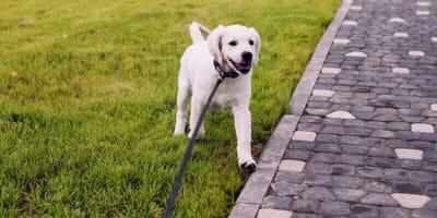 Die Welpen sind los: Wie oft und wie lange sollten junge Hunde spazieren gehen?