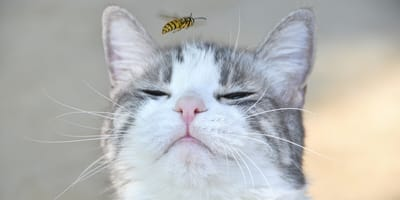 Schmerzhafte Begegnung: Was tun, wenn die Katze von einer Wespe gestochen wird?