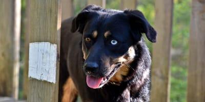 Hund mit Odd-Eyed-Phänomen: Zwei verschiedene Augenfarben