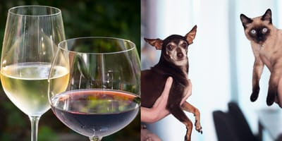 Preference in wine reveals preference in pets