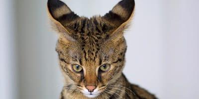 Najdroższe koty świata – poznaj rekordzistów