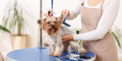 Furminator dla psa, czyli szczotka do wyczesywania podszerstka. Na czym polega jego działanie?