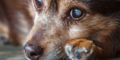 Cuidar a un perro ciego