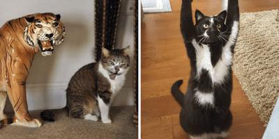postura del gato loco