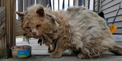 Matted elderly cat eats food from a can