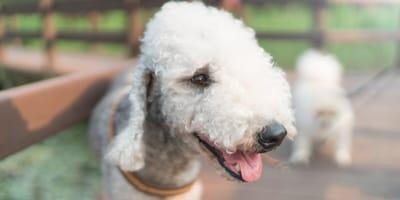 Pies jak owca, czyli bedlington terrier