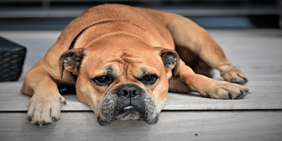Learning important facts about Von Willebrand's disease in dogs