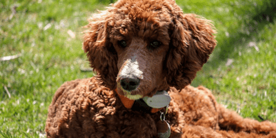 Right here! 10 of the best companion dogs