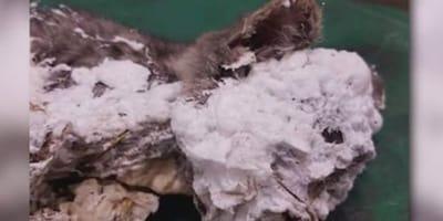 Kitten found encased in spray foam in a trash can