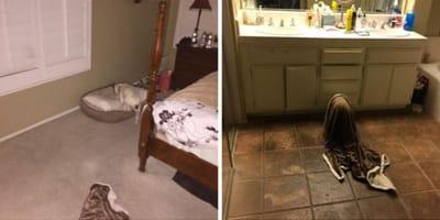 Co robi pies w peniuarze wieczorową porą?