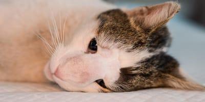Desparasitar a un gato