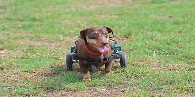 Cuidados perro paralítico