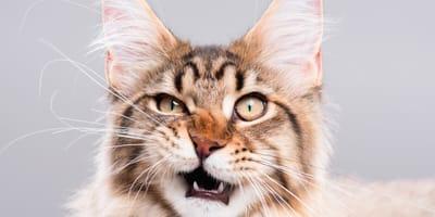 Maullidos de gatos: ¿cuántos tipos hay y qué significan?