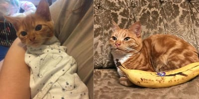 The ginger dwarf kitten who will never get bigger