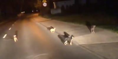Cztery  samotne szczeniaki nocą na pustej drodze. Na szczęście w pobliżu był patrol policji