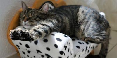 gatto-si-stiracchia-su-poltroncina