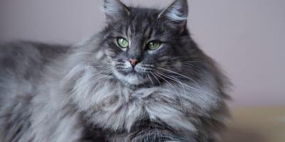 gatto grigio in primo piano