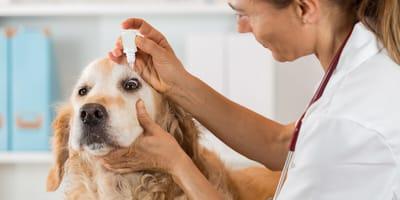 Enfermedades en los ojos en perros
