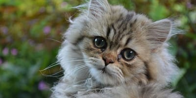 Persian cats suffer the most